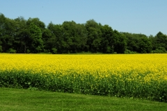 Field Canola Milford #2509