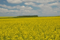 Field Canola Yellow Hillier #2990