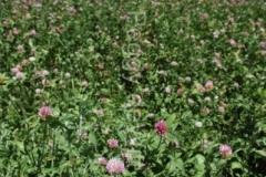 Field Clover (v) #1235