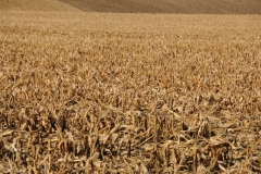 Field Corn #1719
