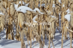 Field Corn Cobs Winter #3198