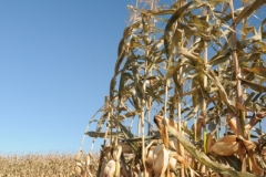 Field Corn Fall (v) #2514