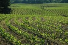 Field Corn Spring #1114