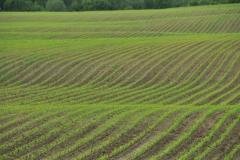 Field Corn Spring #2994