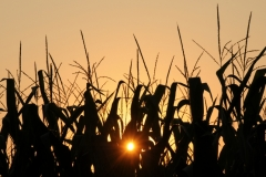 Field Corn Sunset #2846