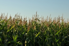 Field Corn Tall #2996
