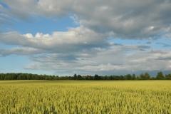 Field Grain #2998