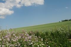 Field Grain Clouds #1825