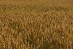 Field Grain Wheat #1822