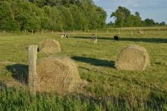 Field Hay Bales Calves #3000