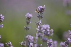 Field Lavendar Bee #3008
