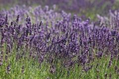 Field Lavendar Purple #3016