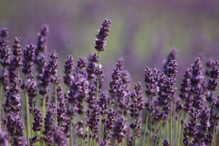 Field Lavendar Purple Closeup #3015