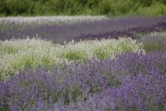 Field Lavendar Purple & White #3014