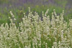 Field Lavendar White Closeup #3018
