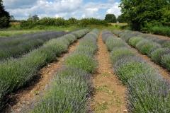 Field Lavender #1500