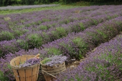 Field Lavender Baskets #2152