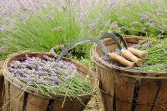 Field Lavender Baskets Full # 2155