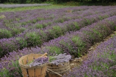 Field Lavender Baskets Rows #2156