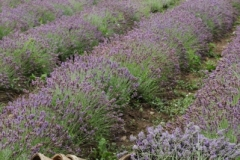 Field Lavender Baskets (v) #2154
