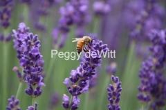 Field Lavender Bee #3556
