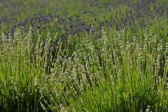Field Lavender Closeup 2 #2153