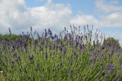 Field Lavender Closeup #2148