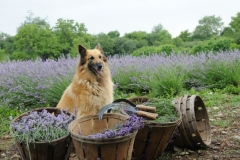 Field Lavender Dog #2157