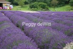 Field Lavender Fat Rows #3558