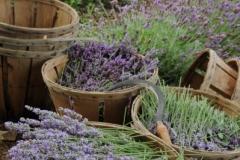 Field Lavender Harvest (v) #2158