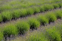Field Lavender Rows #2150