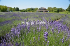 Field Lavender Shed #3202