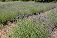 Field Lavender (v) #2147
