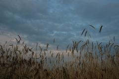 Field Sky Grain #1590