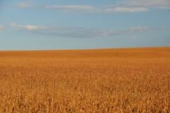 Field Soya Beans #2850