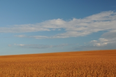 Field Soya Beans #3025