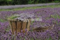 Lavender Fields #1976