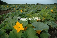 Pumpkin Field Blooming 05 #714