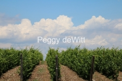 Vineyard & Clouds #3439