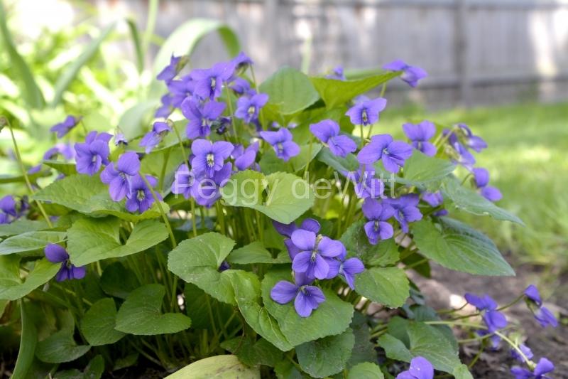 Flower Violets #3560
