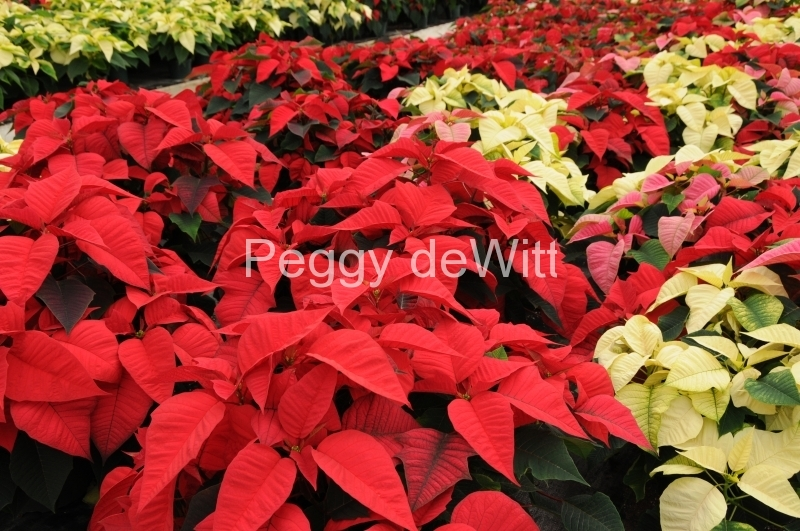 Flowers Poinsettia Red 4 #2262