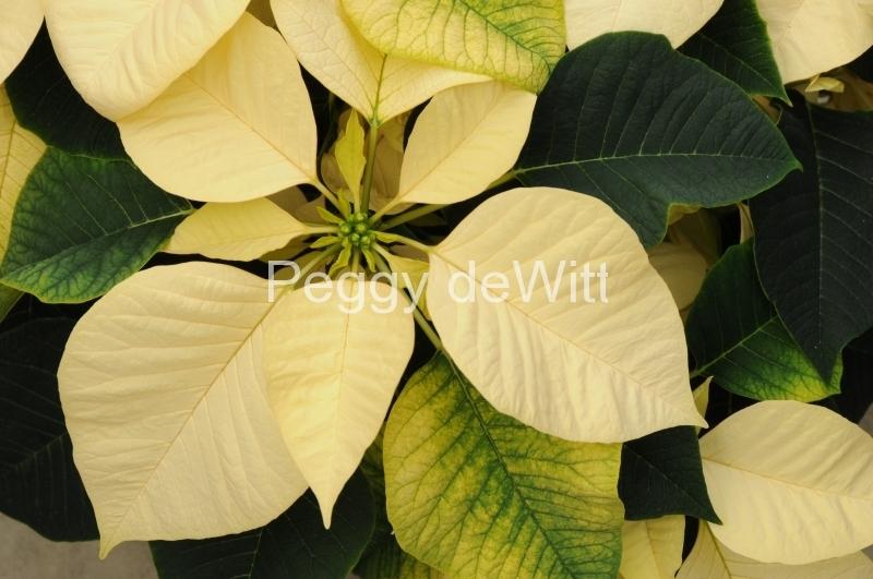 Flowers Poinsettia White 2 #2265