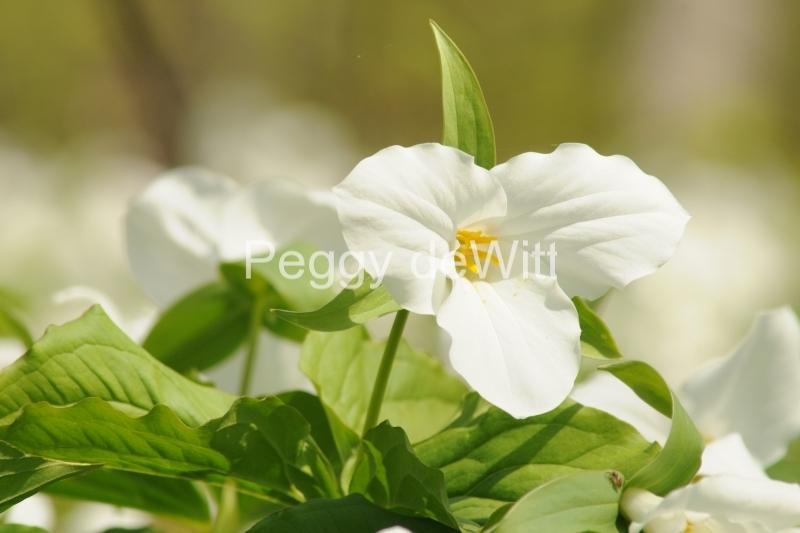 Flowers Trilliums White #3242