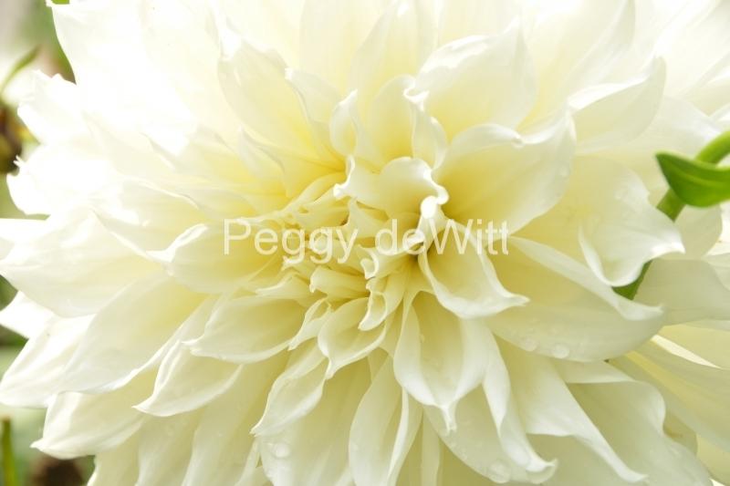 Flowers White Cones #3246