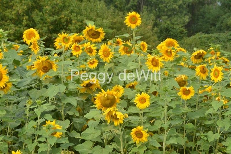 Sunflower Field Cherry Valley #3416