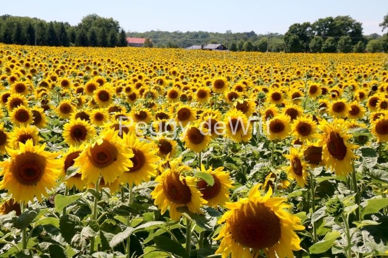 Sunflower Field Waupoos #3417
