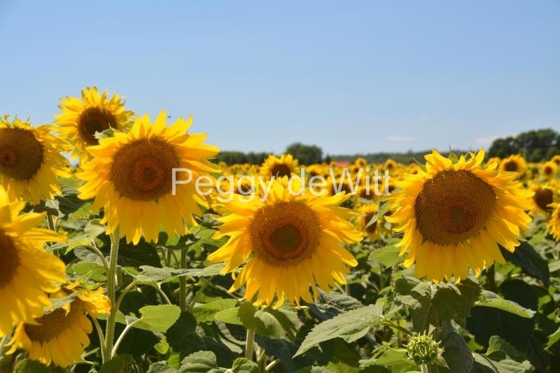 Sunflowers Four Field #3419