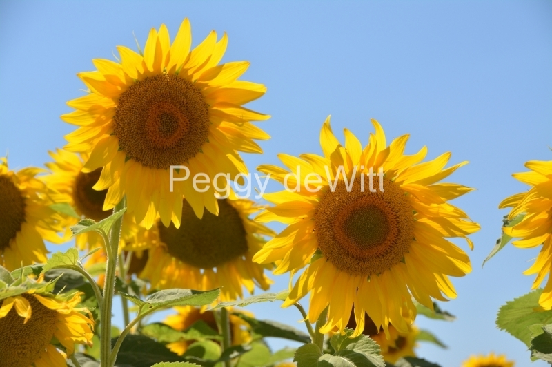 Sunflowers Two Sky #3420