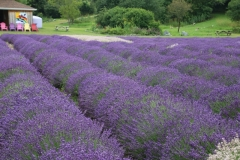 Field Lavender Fat Rows #3558
