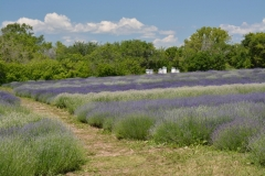 Field-Lavender-Path-3696